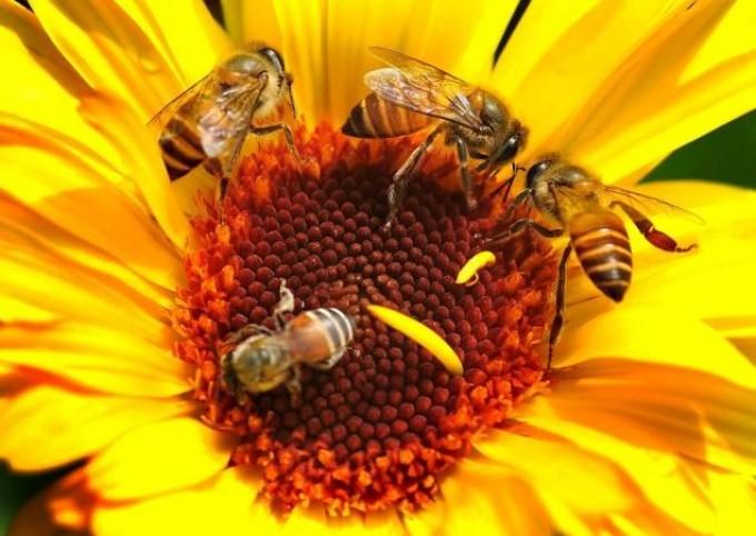 Kaip atsiranda medus? Medaus rūšys
